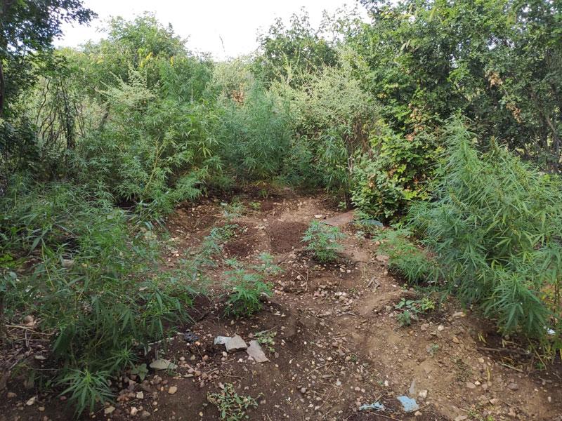 Plantação de entorpecente é erradicada em Macururé