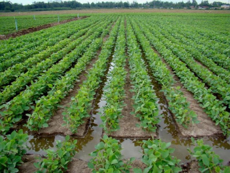 ADAB dispara alerta fitossanitário para evitar nova praga que ataca plantações de soja