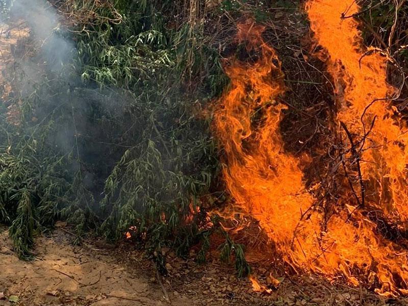 Roças de maconha são destruídas em menos de 24 horas em Curaçá