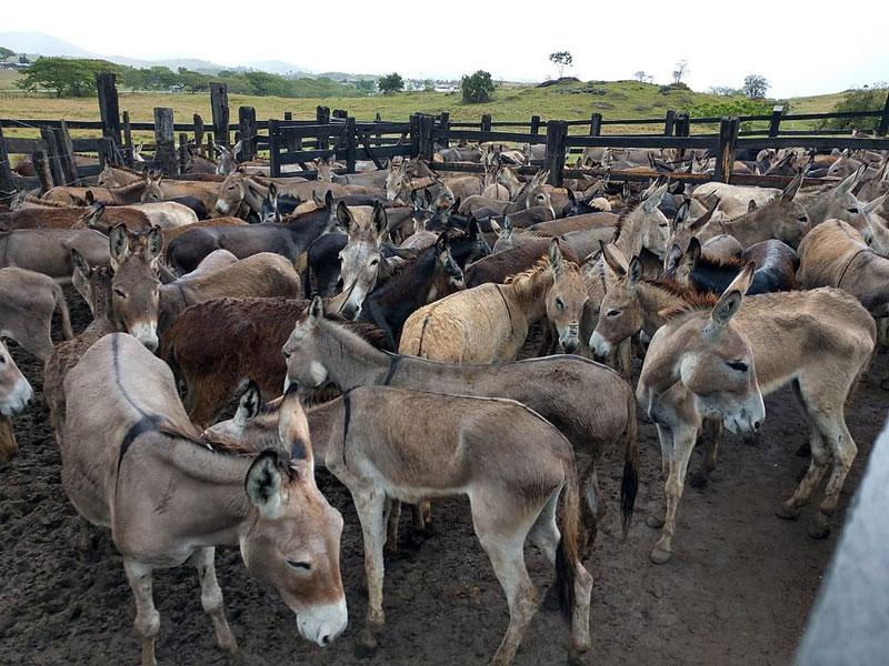 Bahia: Justiça Federal revoga liminar que proibia abate de jumentos