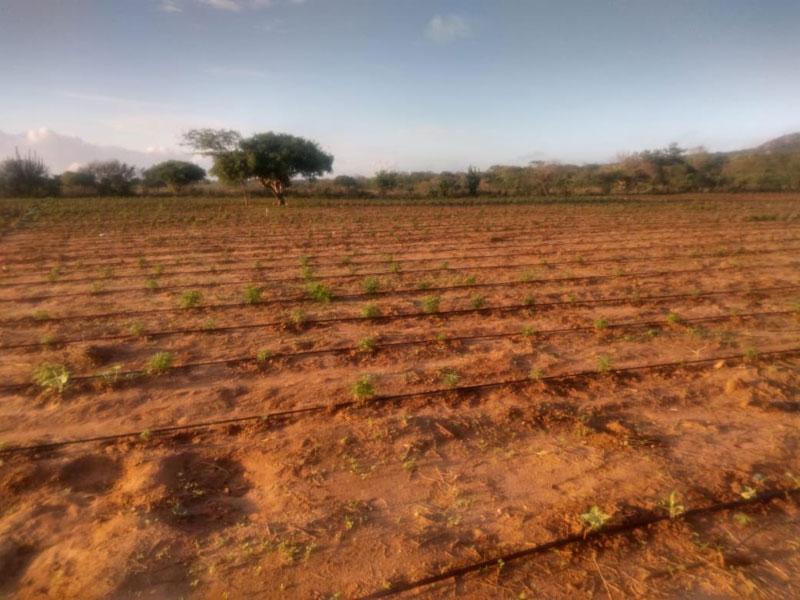 Plantação com 50 mil pés de maconha é localizada no interior da Bahia