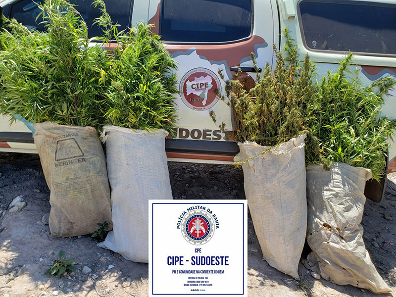 CIPE Sudoeste erradica plantação de maconha em Jussiape