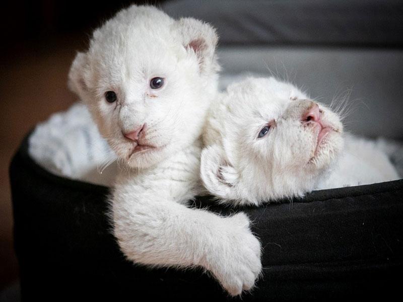 Dois raros leões brancos nascem em santuário francês de proteção animal
