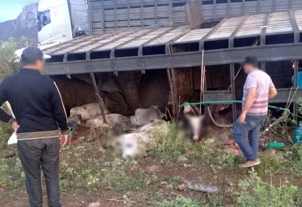 Caminhão carregado de bovinos tombou na BA-152, em Livramento de Nossa Senhora