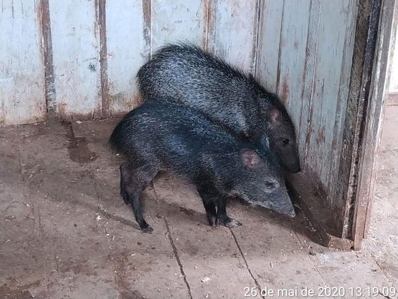 Porcos do mato e aves silvestres são resgatados de cativeiro pela CIPPA