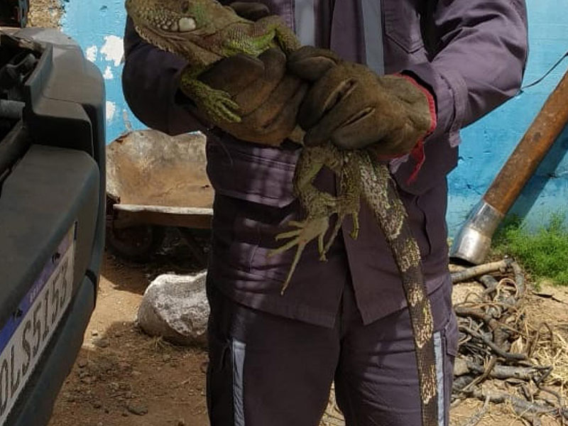 Guanambi: Bombeiros resgatam Iguana em caminhão