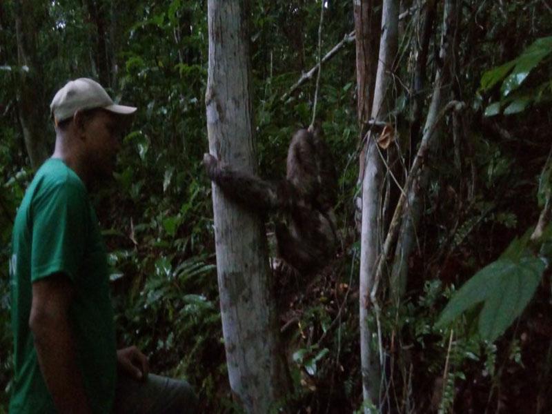 Itamaraju: bicho-preguiça é devolvido à floresta por ativistas
