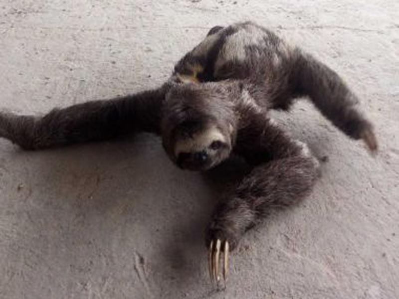 Bicho-preguiça adulto é encontrado próximo a residências em Itamaraju